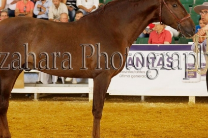 Full brother to our Levante during his first show season in Spain